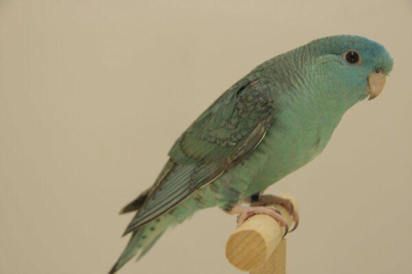 EF grijsvleugel turquoise IMG_3939